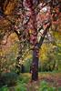 Curled under... (triungulin) Tags: tree autumn colors parthenocissus