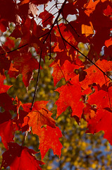 DUI_6856r (crobart) Tags: maple leaves fall colours colors