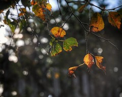 Autumn Colours (S Cansfield) Tags: nikon d300 1870mm sunlight autumn leaf leaves colour