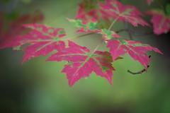 hanging on to summer (MrGregKane) Tags: fingerlakes hollister spencer fall foliage