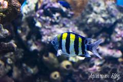 Abudefduf sexatilis (AquariumBlog.es) Tags: acuario aquarium peces fish pez marino saltwater water freshwater dulce agua corales payaso clown sepia acantharus pterois pomacanthus barcelona arrecife reef