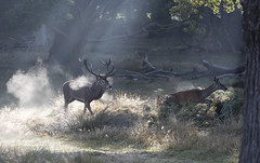 Red Deer. (richard.mcmanus.) Tags: deer reddeer richmondpark richardmcmanus london england mammal animal rut mist sunbeam trees gettyimages