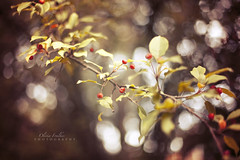 a little while longer (Olivia Foulkes) Tags: tree leaves fall autumn warm warmtones pretty nature mothernature berries bokeh