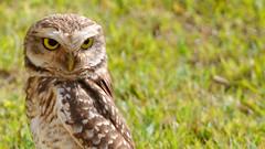(arthurstaudt) Tags: owl coruja cute animal ao ar livre