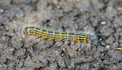 Buff-tip Caterpillar (RiverCrouchWalker) Tags: phalerabucephala bufftipmothcaterpillar caterpillar invertebrate insect stives cornwall september autumn 2016 hairy stripy