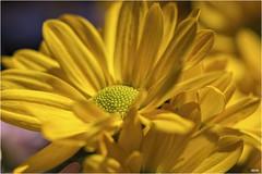 Chrysantheme (Katz-Ffm) Tags: chrysanthemen nikond5300 d5300 flower flowers blume blte blossom makro closeup nahaufnahme yellow gelb details