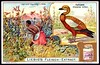 Liebig Tradecard S803 - The Ruddy Sheldrake (cigcardpix) Tags: tradecards advertising ephemera vintage liebig chromo birds