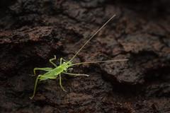IMG_6711-Edit (LowellTyler) Tags: 7d juddtrail katydid mpe65 macro nymph