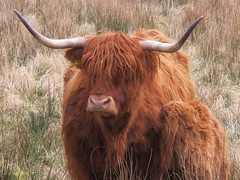 Heilan' Coo (lesleycc53) Tags: scotland highlandcowandcalf closeup moorland