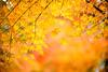 Drizzle (moaan) Tags: kyoto japan jp autumn november autumnleaves autumncolors fallcolors maple japanesemaple momiji bokeh dof rain dew utata 2016 leica mp leicamp type240 noctilux 50mm f10 leicanoctilux50mmf10 京都 大原 三千院