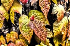 Automne Cérestain (LT.:.) Tags: feuille hdr feuillage automne