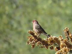 House Finch - Arizona by SpeedyJR (SpeedyJR) Tags: 2016janicerodriguez sweetwaterwetlands tucsonaz housefinch finch birds wildlife nature tucsonarizona arizona speedyjr