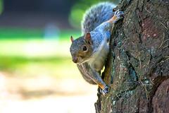 Climbing Is Fun (fotojak1) Tags: squirrel rodent animal wildlife outdoor outside edinburghsroyalbotanicgarden scotland autumn october2016 handheld nikond7100 sigma70300mm f50at1500 iso1000 johnritchie edinburghsquirrels fotojak