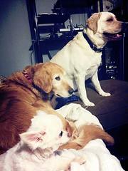 Cookie, Gracie and Petunia (walneylad) Tags: gracie cookie petunia dog canine pet lab labrador labradorretriever goldenretriever golden chihuahua sisters threemusketeers memories happytimes