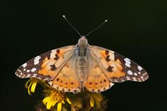 The Lady (Luis-Gaspar-less-active) Tags: animal insect insecto borboleta butterfly beladama vanessadoscardos paintedlady vanessacardui lepidoptera papilionoidea papilionidae nymphalidae nymphalinae portugal oeiras nikon d60 55300 f56 11250 iso400