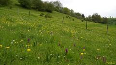 Buterweck sdlich (franzopitz) Tags: mannsknabenkraut orchis mascula orchideen wiese rinderweide schlsselblume lwenzahn urfttal extern