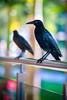 Grackles (cindy-lou ramsay photographer) Tags: cindylou ramsay photography central american wildlife scottish photographer birds wild grackles zenates bird
