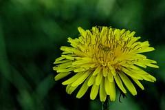 Lwenzahn (Michael Schnborn) Tags: nx500 nx50200f456 nx samsung macro closeup yellow green dandelion lwenzahn flower garden outside