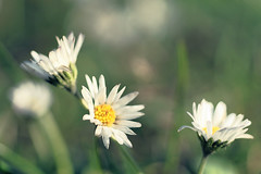 november daisies (kinaaction) Tags: flower nature sonyilce6000 flora daisies meadow white whiteflowers