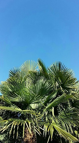 Palm leaves in a blu sky