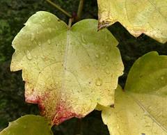 DESPUS DE LA LLUVIA (Joan Biarns) Tags: monells gotadaigua macro fullas hojas baixempord empord girona catalunya 210 panasonicfz1000 tardor otoo