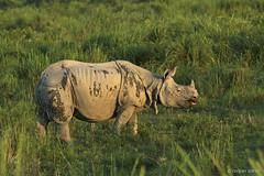 One horned rhino (sahaavijan88) Tags: onehornedrhino kaziranga tour photography wildlife