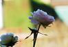 DSC_2100 (PeaTJay) Tags: nikond70s reading lowerearley berkshire macro micro closeups gardens outdoors nature winter frost flora fauna plants flowers rose roses rosebuds