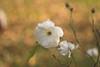 November rose (Inka56) Tags: hbw roses autumn helios444
