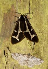 Erebidae: Arctiinae: Dysschema mariamne (Southern Giant Flag Moth) male 1 (K. Zyskowski and Y. Bereshpolova) Tags: mexico moth oaxaca erebidae arctiinae dysschema mariamne southern giant flag