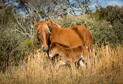 new colt (Jen MacNeill) Tags: assateague island nature nationalpark horse wild wildlife horses pony ponies colt foal animals