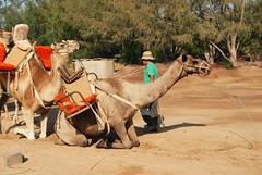 Camel Safari (RD1630) Tags: camel kamel fuerteventura canary islands spain summer outside outdoor sunny sun africa hot safari oasis park