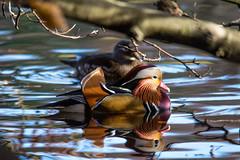 Mandarin Ducks Longshaw Estate (james keats) Tags: mandarinduck duck mandarin longshawestatederbyshire longshaw estate derbyshire highiso nikond7200