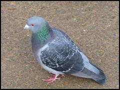 Feral Pigeon (kcm76) Tags: 2016 lumix tz35 birds pinner harrow