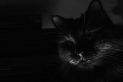 Dark Portrait (2/2) (Vasquezz) Tags: katze cat sibirischekatze sibirische sibirisch siberiancat siberian сибирская кошка сибирскаякошка waldkatze forestcat zarah zarin tsarina portrait mono sw bw