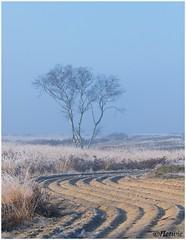 omgeploegd (HP019938) (Hetwie) Tags: ijs nachtvorst natuur strabrechtseheide ochtend kou nature sunrise birch rijp vorst strabrecht zonsopkomst heide ice heather frost frozen berk lierop noordbrabant nederland