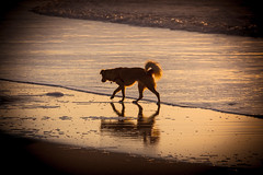 Sea dog (lermaniac) Tags:  sunset beach surf sea dusk waves outdoors  dog