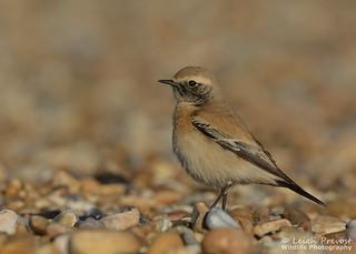 Desert Wheatear, Oenanthe deserti